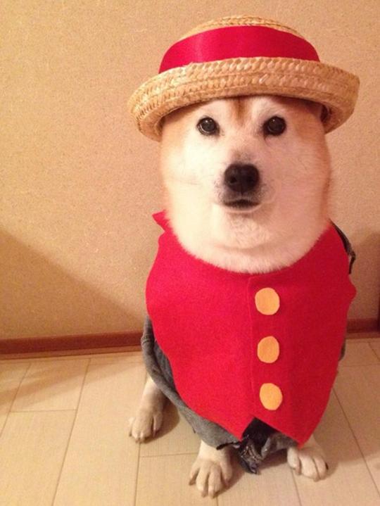 随着看动漫的人越来越多,COS风也从真人吹向宠物界,据台媒东森新闻云报道,日本有位饲主C_Suzuki非常精通绘画跟手工,在某天发现把他家的柴柴拼个表情MASK上去之后...就这样开启了柴犬COS新世界的大门~ 路飞  草帽跟红背心一穿戴上似乎有飘著这么一点航海男儿味~ 乔巴  换顶帽子,再把背心换斗篷玛上变身为乔巴!