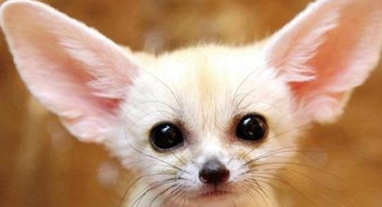近日,北京某媒体爆出有市民想给女儿买一只耳廓狐作宠物,并且发现网上有明码售卖行为,该媒体称耳廓狐并非我国物种,在2015年被列入《世界自然保护联盟濒危物种红色名录》,禁止私自买卖。四川省林业厅野生动植物保护处相关人士表示,耳廓狐在国内享受国家二级保护动物的级别保护,若要市场交易,必须通过一系列手续获得资质方可合法交易,而个人买家很可能因没有资质购买而违法。  因为看了迪士尼电影《疯狂动物城》而想要买只耳廓狐作萌宠,这也是人之常情,但人应该是理性的。在买耳廓狐之前,需要细细掂量,此举是否合法?