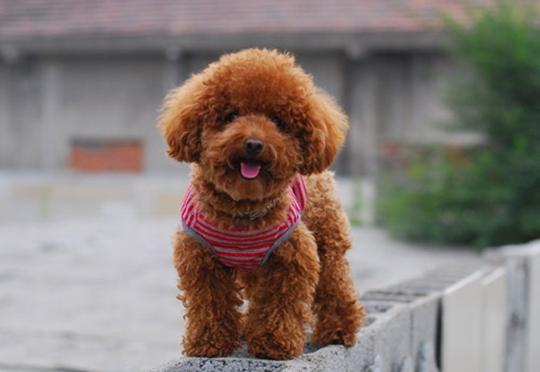 泰迪犬美容的步骤是什么_宠物美容学校|宠物美容|宠物