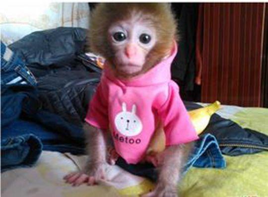 女子网购袖珍石猴当宠物 转账2500元后被拉黑_派多格