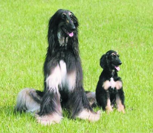 在已克隆的动物中犬类是科学界公认的最难克隆的动物