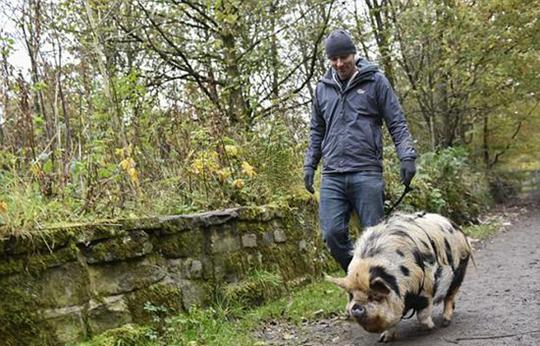申请特别许可证后可带宠物猪上街散步