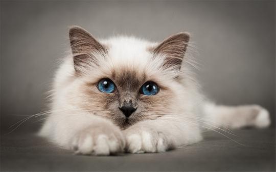 非纯种猫价格图片