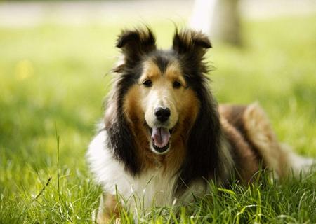 最聪明的狗_狗的品种排名