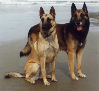 "740)this.width=740"" border=undefined> 一、[简介] 比利时玛利诺犬是一种非常匀称的狗,身体比例呈正方形,态度文雅,头部和颈部非常高傲的昂起。他结实、灵活且肌肉发达,永远都保持警觉。站立时,从侧面观察,身躯和四肢呈正方形比例,即背线、前肢、后肢形成近似正方形的结构。整体结构给人的印象是有深度、可靠,但不粗笨。一般雄性给人的印象比雌性要深一些、大一些,而雌性一般显得柔美。 二、[体型] 雄性肩高在24~26英寸;雌性肩高在22~24英寸。测量位置在马肩隆处。雄性低于2"