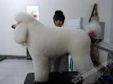 巨型贵宾犬美容实操