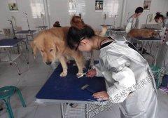 北京宠物美容学校第48期金毛犬洗澡修剪