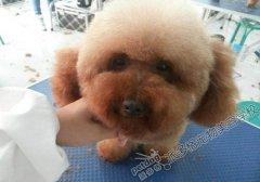 北京宠物美容学校第48期泰迪犬修剪实操