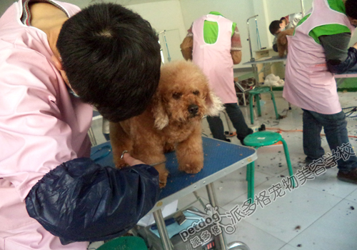 宠物 贵宾犬/派多格宠物美容学校第51期贵宾犬美容实操
