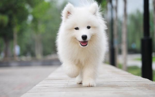 1、先抓脚步线条。圆形,不能露指甲和脚掌。   2、背部线条:背部线条水平,前面剪到肘部垂直往上的延长线略后一点的位置(即肩胛骨略靠后)。前躯到后躯为直线。   3、萨摩抓后部线条时,应修剪的比较夸张,从尾巴根部到坐股节节剪成圆弧。若犬为长筒短肢则修剪时把坐股节往上提,以弥补缺陷。   4、后躯线条,从后腿内侧先剪,呈直线。后腿内侧,剪到脚背方向,斜线。腿毛的长度由脚地面的长度决定,以下往上剪。飞节部为直线。   5、腰腹部:比熊无腰线,从后往前一样长。腹线接近水平的斜线,胸部不能低于前肘。   6