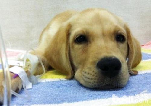 狗狗静脉输液时故障的解决方法