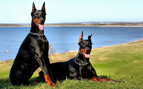 杜宾犬耳朵应该怎么美容护理?