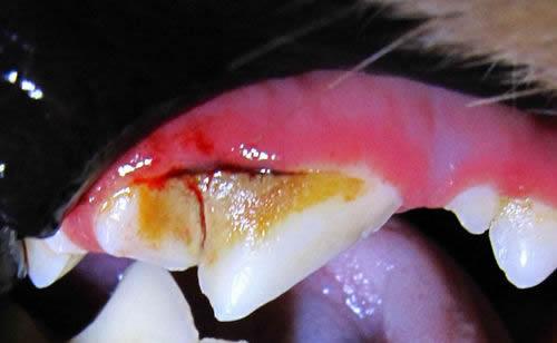 蛀牙怎么办_狗狗会长蛀牙吗|蛀牙了怎么办_派多格宠物美容培训学校